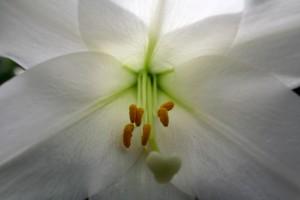 Easter-lily-macro_-_West_Virginia_-_ForestWander